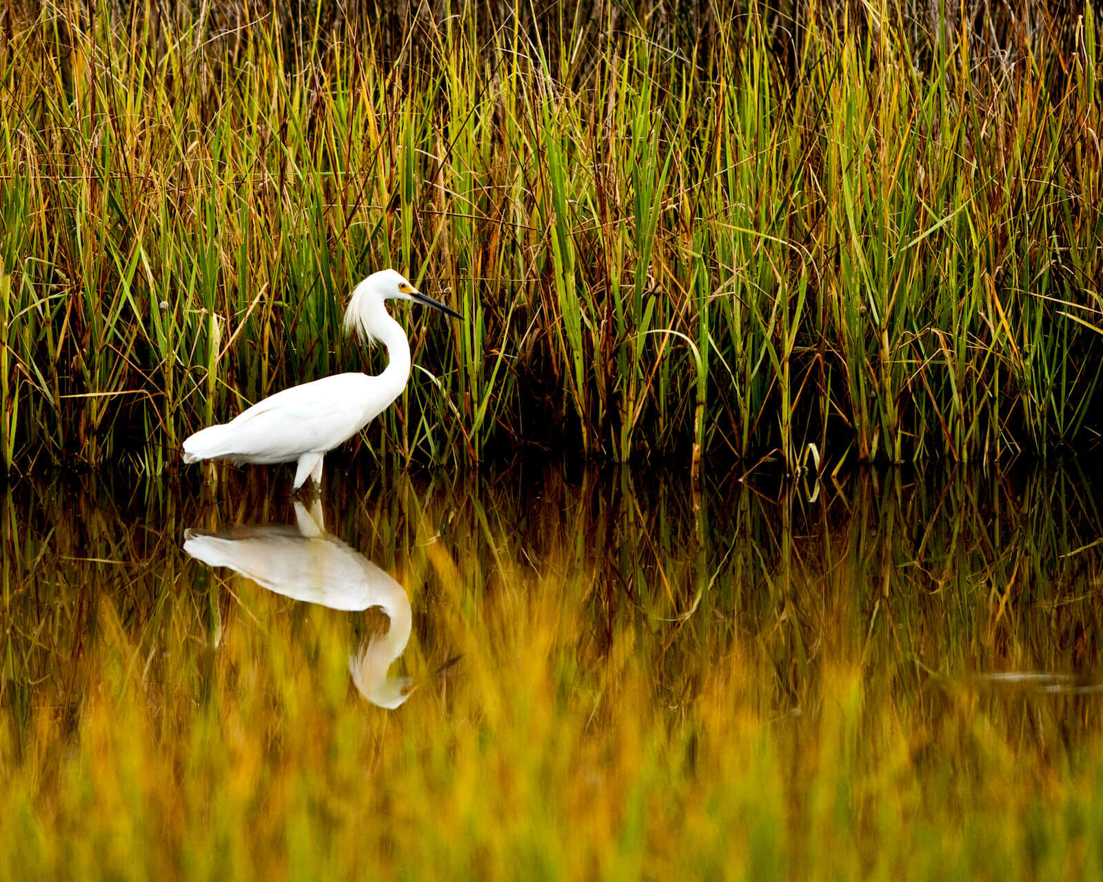 snowy-egret-hunting-at-bermuda-bluff-by-scott-quarforth-1600